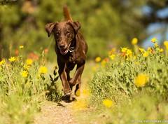 So Glad to be Home (KB RRR) Tags: dog colorado rockymountains frontrange chocolatelabrador shyla