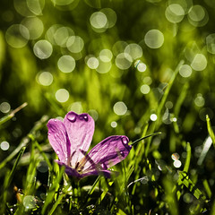 dewdrop sparkles (Jacqui Stanley(I'm back!)) Tags: dew dewdrops bokeh grass flower pink green macro closeup uk northeastengland newcastleupontyne nikond300 jacquistanley squareformat