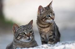 Felis catus _2724 (antarc foto) Tags: felis catus gat gatet gato gatito cat kitten chat chaton katze kätzchen gatto gattino gatinho 子猫 猫 小猫 القط، والقط feliscatus