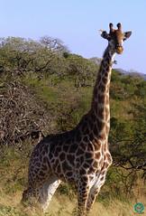 Giraffe (BarryJansen) Tags: anial south africa nature krugerpark travelling travelphotography wildlife