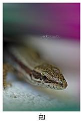 Lizard (erikbiasutto'sphotography) Tags: nikon d200 tamron macro 90mm lizard lucertola natura nature small erik biasutto italia italy friuli friul fvg rettile reptile estate summer