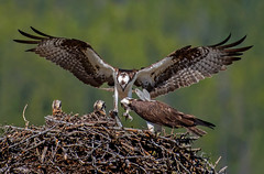 Osprey delivery (Robert Ron Grove 2) Tags: fish nature birds nest wildlife delivery osprey provide robertgrove