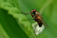 a little fly (Suzie Noble) Tags: garden insect fly leaf invertebrate strathglass struy