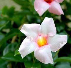 Un rayon de soleil traverse le coeur de la fleur... (valerierodriguez1) Tags: flower outside macro canon eos 7d spring t summer printemps