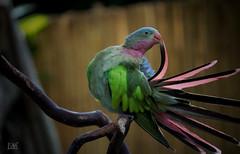 ...And Princess Parrot is my name (Animathika) Tags: parrot princessparrot bird loro pjaro fly wings volar infinitexposure polytelis alexandrae