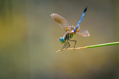 A Dragon Tale (PhillymanPete) Tags: summer color dragonfly bug wildlife macro beauty insect dof bluedasher hot philadelphia pennsylvania unitedstates us nikon d7200