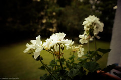 Flowers (camlott.photography) Tags: fokus flower tiefenschrfe bearbeitet blumen farben gendert