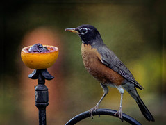 Lunch Time (bonnie5378) Tags: robin orange grapejelly july2016 coth naturescarousel coth5