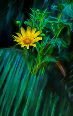 Scent of yellow (FotoGrazio) Tags: california plant painterly flower macro green art texture nature yellow closeup composition contrast garden painting botanical photography petals spring photoshoot sandiego blossom fineart daisy moment lovely photographicart capture botany mothernature encinitas digitalphotography phototopainting phototoart sandiegobotanicalgardens sandiegophotographer artofphotography californiaphotographer internationalphotographers worldphotographer photographersinsandiego fotograzio photographersincalifornia waynegrazio waynesgrazio