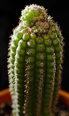 Newly Potted Indian Comb Cutting (jpmatth) Tags: digital color canon eos 7d lenstagged ef50mm25compactmacro home garden plant cactus indiancomb corn 2016