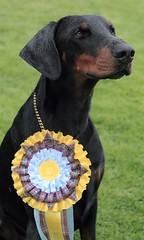 Gunner reserve best in show (Dls Bute) Tags: star dobermann cattleshow agricultural show rain dog doberman gunner