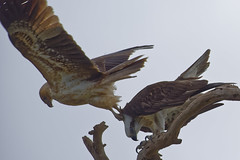 I shall not be moved 1 (audiodam) Tags: australianbirds australianwildlife raptors osprey kite whistlingkite