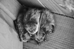 Fledermausjunge, young Bats (simon.richi) Tags: canon sterreich wasser ente schwan donau 500d stockerau altarm krumpenwasser