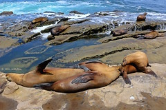 Layabouts (Art By Pem Photography: Tao Of The Wandering Eye) Tags: fineartphotography canon canoneosrebelsl1 eos sl1 california lajolla sandiego southerncalifornia socal travel usa sealions water ocean rocks coastal coast tidalpool nature naturepreserve scenery scenicsnotjustlandscapes beauty beach wildlife animals