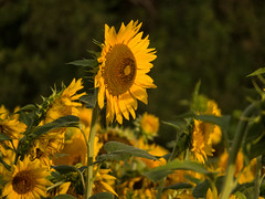 20160723-IMG_0087 (MandoCatDSM) Tags: sunflowers badger creek wildflowers sunrise