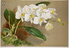 White moth orchid (1907) (Swallowtail Garden Seeds) Tags: orchis orchideenkunde orchids orchidillustration illustration botanicalillustration flowerillustration flowers flower vintage vintageillustration vintageflowers plantillustration plant blossoms blooms blooming flowering orchid orchidflowers publicdomain swallowtailgardenseeds mothorchid phalaenopsis