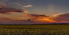touch (nickneykov) Tags: nikond750 nikon d750 tamron2470vc tamron 2470vc landscape sunflower fields sunset clouds sky