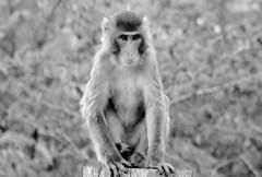 Macaca fuscata --  Japanese Macaque 1278 (2) (Tangled Bank) Tags: asahiyama zoo zoological gardens hokkaido japan primate macaca fuscata japanese macaques 1272 monkey snow