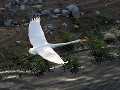 Great egret () (Greg Peterson in Japan) Tags: ritto shiga yasugawa rivers wildlife birds egretsandherons deba shigaprefecture japan jpn