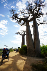 Madagascar:Morondava:Baobabs Alley (Enemy8028) Tags: madagascar morondava baobabs 馬達加斯加 麵包樹