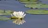 Water Lily III (Pauline Brock) Tags: flower waterlily whiteflower waterflower floatingflower floral flora nature nymphaeaceae
