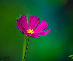 Atrevida (marcus turkill) Tags: flowers flores nikon nikond3300 naturaleza nature macro macrofotografia macrophotography margarita rosa pink color daisy