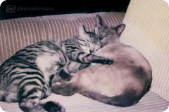 3 - cats of my childhood (not forgotten) (photos4dreams) Tags: didi siri cat katze hauskatze ekh siam siamkatze lilacpoint oldbreed carmenvonreinheim photos4dreams p4d photos4dreamz