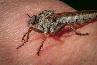 Die Raubfliegen werden auch immer zutraulicher :-)