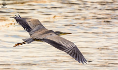 ''Grey Heron'' (marcbryans) Tags: weymouth dorset heron ardea cinerea bird water nikond7100 nikkor200500mmf56e outdoors flying gliding