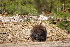 2015_0405Grumpy-Old-Porcupine0001 (maineman152 (Lou)) Tags: wild nature animal photography photo spring critter maine april porcupine