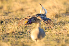 The Dance (MontanaImages) Tags: montana mating allrightsreserved lek sharptailedgrouse bigskycountry bentonlake bentonlakenwr bentonlakenationalwildliferefuge jeffalbrechtphotography