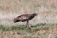Juvenile Bald Eagle chows down on a prairie dog