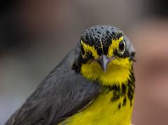 Canada Warbler (Laura Erickson) Tags: birds wisconsin places species passeriformes canadawarbler trempealeaunationalwildliferefuge parulidae