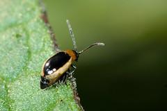 Longitarsus dorsalis (Ian Redding) Tags: uk nature fauna insect wildlife beetle limestone british grassland quarry invertebrate arthropod calcareous