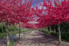 (instagram asier.mateus) Tags: pink cute primavera beautiful spring nice nikon arboles rosa paseo 1855 prima burgos schn d3100