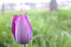 Tulip (rtreynor) Tags: flower macro fuji purple finepix tulip x10 fujifinepixx10