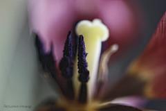 Talk (pedschwork.fotodesign) Tags: macro tulpe