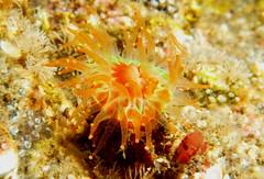 Devonshire Cup Coral (K Summerbell) Tags: uk sea cup nature coral scotland marine underwater wildlife anemone freediving snorkelling devonshire gairloch westerross