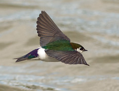 Violet-green Swallow (Tachycineta thalassina) (fugle) Tags: inflight nevada swallow violetgreenswallow hirundine