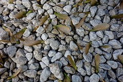 Helicopters on Gravel (ricko) Tags: rocks seeds helicopters gravel silvermapletree