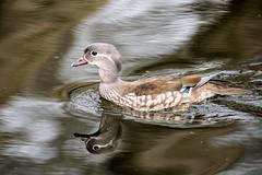The Mandarin female duck (Aix galericulata) (Hans Pluim) Tags: netherlands duck arnhem nederland mandarin canon5d mandarinduck eend aixgalericulata 100400 parksonsbeek mandarinente mandarijneend canardmandarin patomandarn anatramandarina hanspluim mandarenanaso