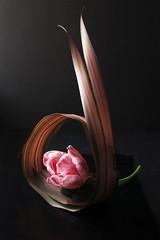 curled phormium and  tulip (Wendy:) Tags: pink ikebana shift phormium tulip em tilt lowkey manualfocus creativeartphotography