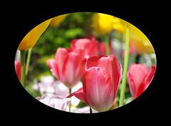 "Tulip (karakutaia) Tags: sun tree love nature japan paper temple tokyo heart afotando ""flickraward"" flickrglobal allbeautifulshotsandmanymoreilovenature flowerstampblackandwhite transeguzkilorestreetarturbanagreatshotthisisexcellentcontestmovementricohgxr""serendipitygroupbluenatureicapturecardjapanesepapercardflickraward5""j trasognoerealtabstractelementsorganizersimplysuperb"