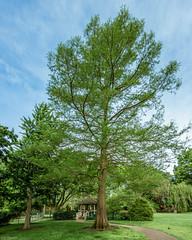 Dawn Redwood (Mglf) Tags: trees flora columbia missouri boonecounty dawnredwood sheltergardens