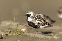 Black-bellied Plover (Mick Thompson1) Tags: