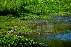 This Pond is My Pond (brev99) Tags: blue green bird nature water pond ngc marsh greatblueheron d7100 ononesoftware nikviveza tamron70300vc perfecteffects10
