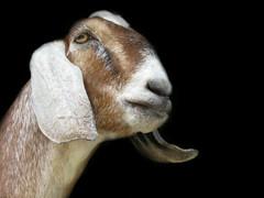 Nubian (Mel's Looking Glass) Tags: goat nubian