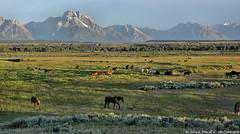 Wyoming Horses before Mount Moran, Grand Teton National Park (David C. McCormack) Tags: ranch horses sunrise landscape rockymountains wyoming jacksonhole grandtetonnationalpark duderanch mtmoran