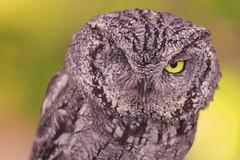 Screech Owl (Cruzin Canines Photography) Tags: portrait bird nature birds animal animals closeup canon outside outdoors zoo naturallight calm owl tamron naturepreserve califorina birdofprey screechowl californialivingmuseum 5ds canon5ds eos5ds tamronsp150600mmf563divcusd canoneos5ds