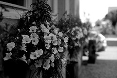 Some flowers (Leica M6) (stefankamert) Tags: stefankamert leica m6 film analog voigtlnder nokton rangefinder flowers ilford fp4 epson v550 sw bw noir noiretblanc blackandwhite blackwhite schwarzweis dof grain